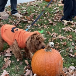 A dog inspects a field of pumpkins